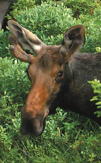 Moose and other wildlife are often abundant sites during trips throughout the White Mountains